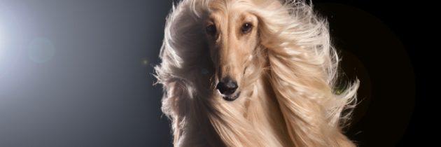 Pielęgnacja sierści psów długowłosych