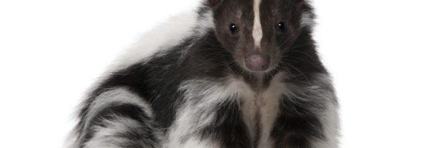 Skunks – powinieneś wiedzieć?