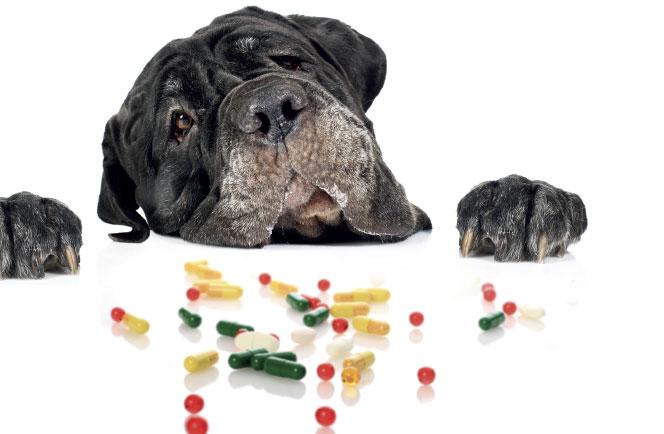 Suplementy diety psów ikotów