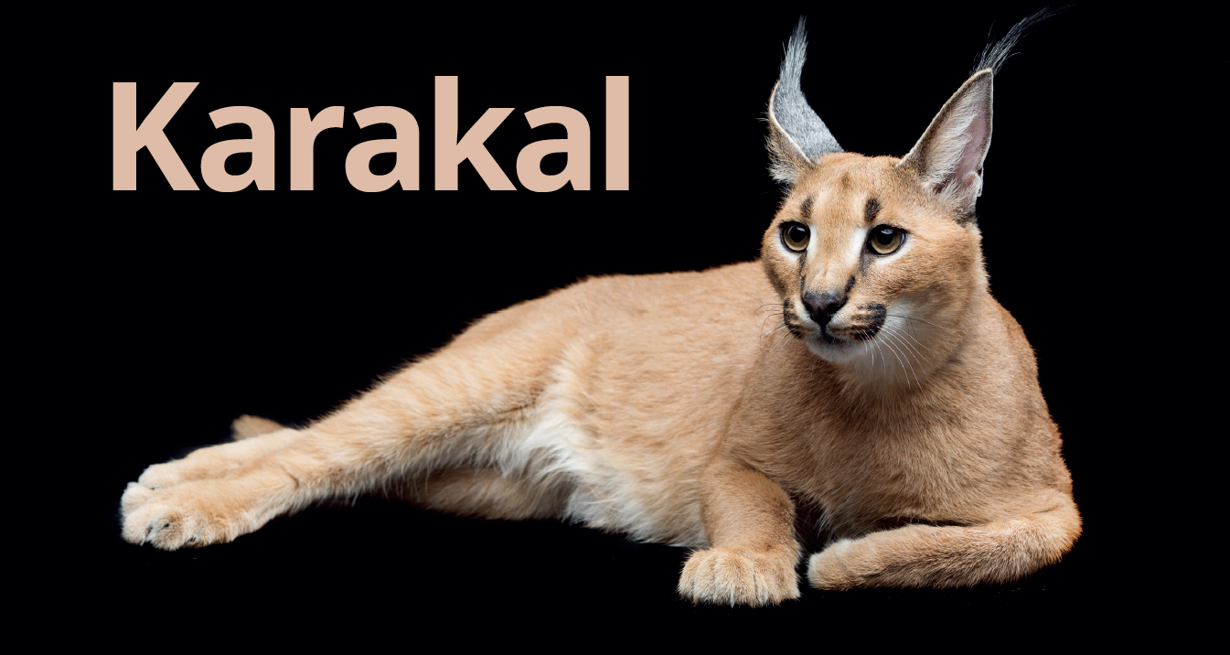 Karakal Zoobranża Zoologia Wiedza Szkolenia Ludzie