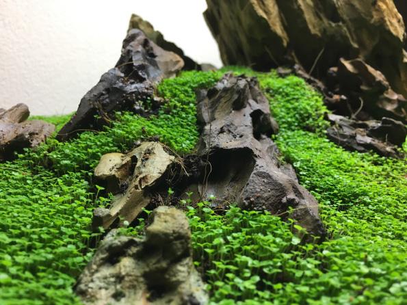 Iwagumi – podwodna łąka wakwarium