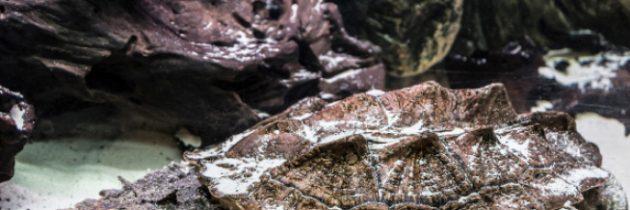 Matamata Najdziwniejszy zżółwi