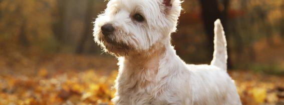 Pielęgnacja psów szorstkowłosych