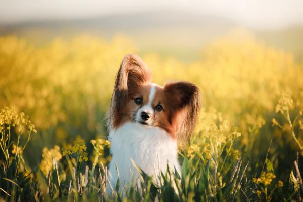 Wpływ żywienia na odporność psów ikotów