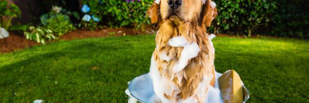 Piękna sierść – proszę bardzo!  Jak pomóc wprawidłowym doborze szamponu iodżywki dla psa?