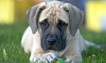 Suplementacja młodych psów ras dużych iolbrzymich Jak zapewnić juniorowi zdrowy rozwój?