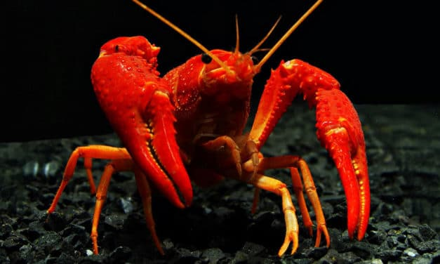 Akwariowe inwazyjne gatunki obce czyli świat niekończący się na szybie