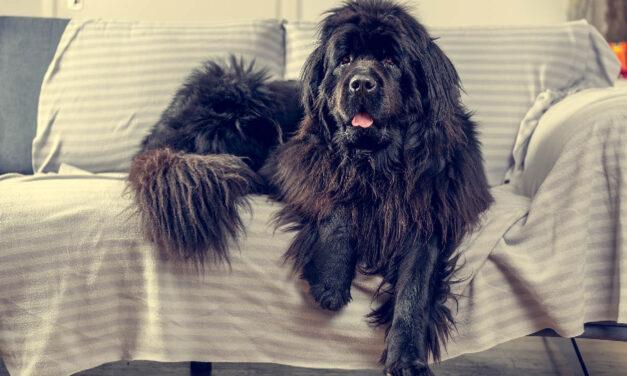 Jak karmić psy dużych ras od szczeniaka po seniora?